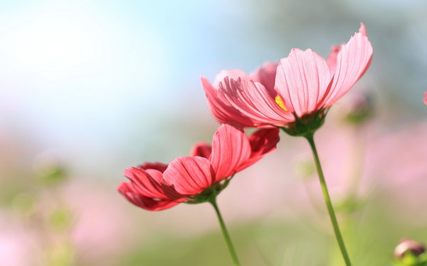 Обои nature, flowers, cosmos