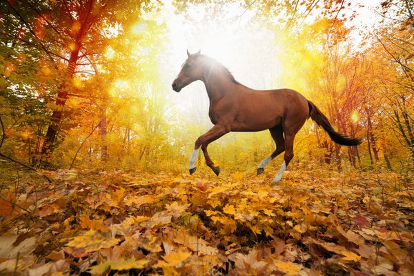 Обои horses in fall leaves, yellows, forest