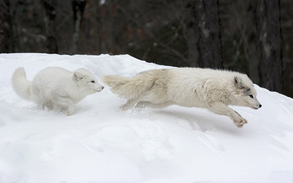 Обои Canadian Arctic Foxes, Parc Omega, Canada