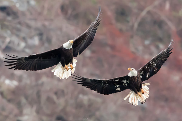 Обои Bald Eagles, птицы, природа