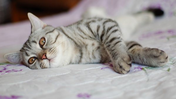 Обои pose, bed, cat