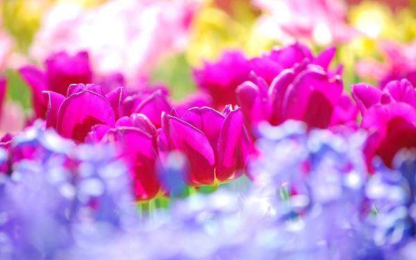 Обои flowers, colors, тюльпаны, sunny, цветы, summer, tulips