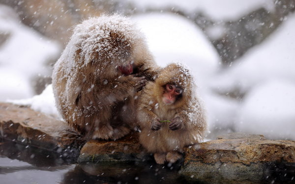Обои природа, Japan, Snow monkey, Nagano