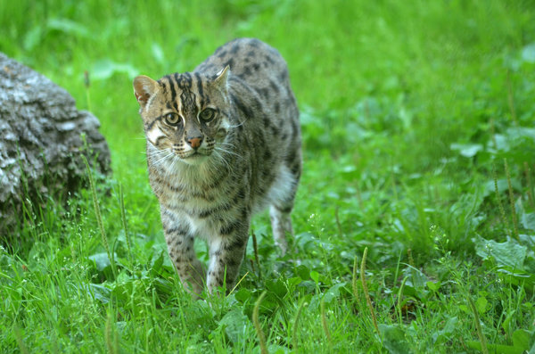 Обои sweden, fishing cat, parken zoo eskilstuna