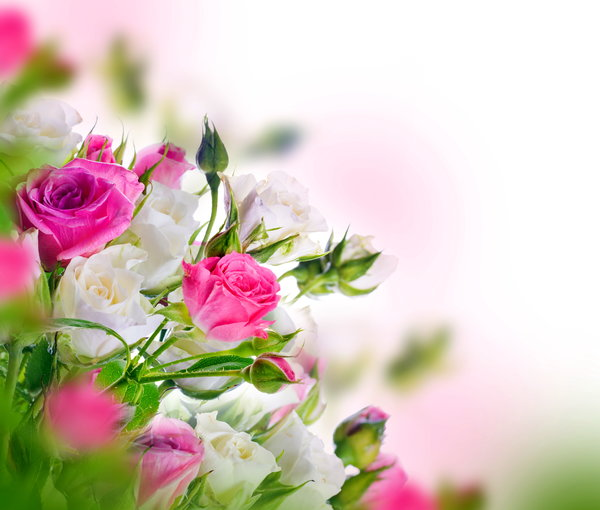 Обои flowers, beautiful, розы, white, blossom, pink, бутоны, roses