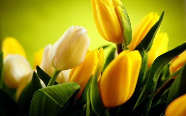 Обои yellow tulips, green, beautiful
