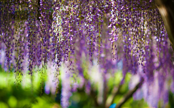 Обои wisteria, bokeh, purple, цветы, flowers