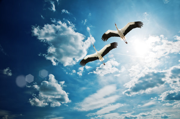 Обои Heron, birds, небо, sky, летать, clouds, beautiful, красивая, облака, fly, птицы