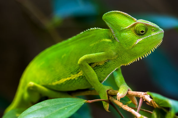 Обои chameleons, green, rainforest