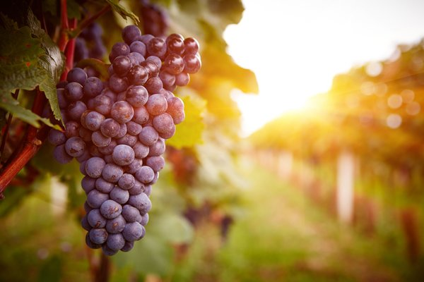 Обои sunset, vineyard, grapes, plant