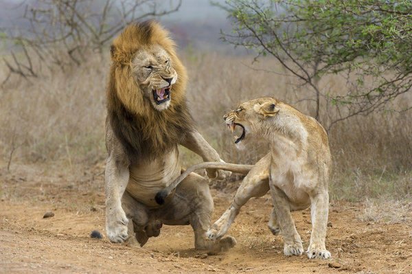 Обои lioness, lion, attack, fight