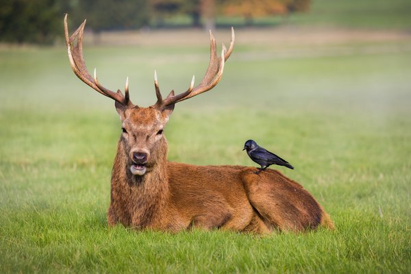Обои friends, crow, park, antlers, wildlife, red deer, grass, field, deer