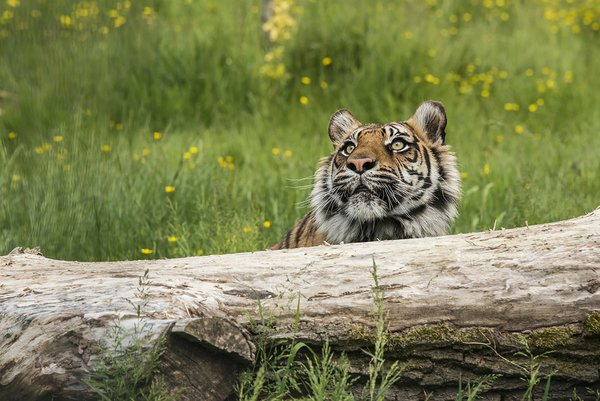Обои head, wood, flowers, grass, tiger, looking