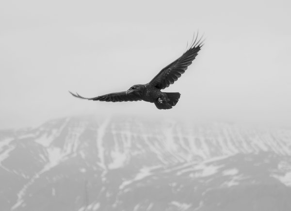 Обои winter, crow, snow, mountain, fog, flight, mist, flying