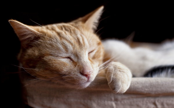 Обои cat, sleeping, pets
