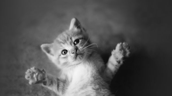 Обои cats, kittens, animals, black and white, cute