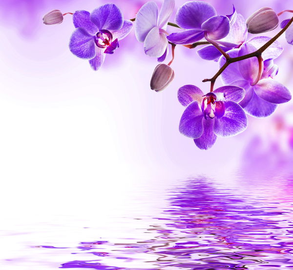 Обои orchid, water, цветы, вода, purple, flowers, reflection, beautiful, цветение, орхидея