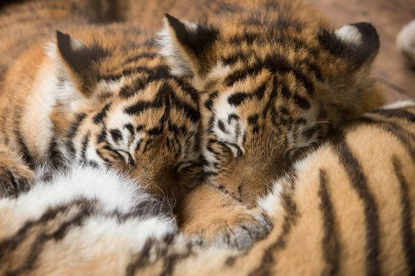 Тигренок спит с мамой