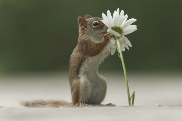 Обои Emi, цветок, squirrel, daisy, flower, ромашка, forest, белка, трава, grass