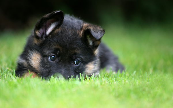 Обои german shepherd, puppy, pet