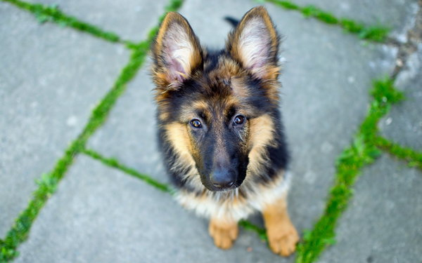 Обои german shepherd, dog, взгляд